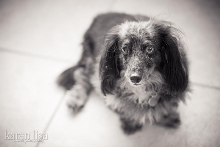 Longhaired Dachshund © Karen Lisa | SIREN.ORG